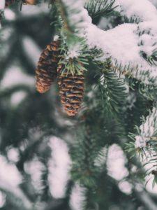 Lähikuva lumisen kuusen oksasta, jossa roikkuu kaksi käpyä.