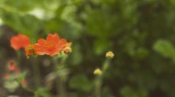 Oransseja kukkia vihreällä taustalla