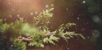 Kuvassa on havupuun oksa, lunta sataa hiljalleen, taustalla loistaa kullanhohtoinen valo